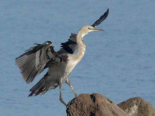 White-Necked Heron closeup