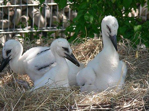 White Stork chicks