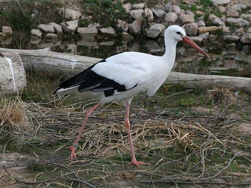 White Stork closeup