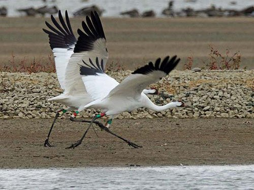 Whooping Crane feathering