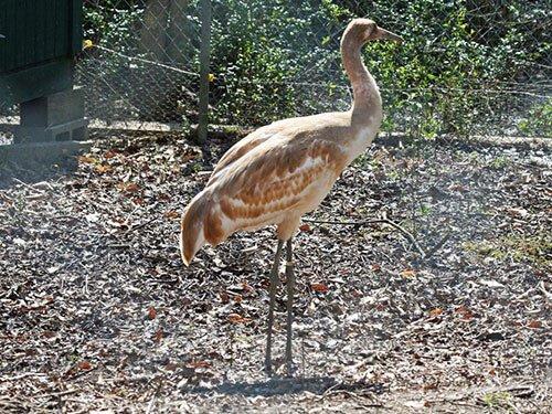 Whooping Crane juvenile