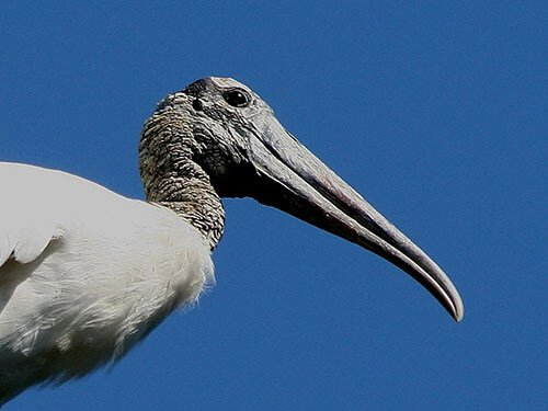Wood Stork closeup