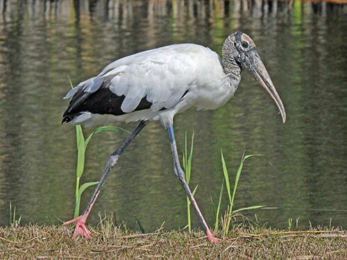 Wood Stork habitat