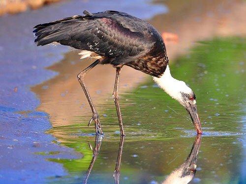 Woolly Stork closeup