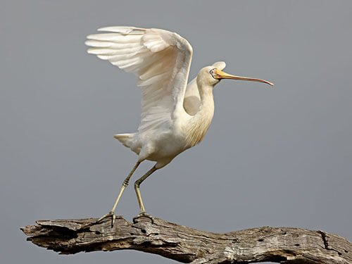 Yellow-Billed Spoonbill feathering