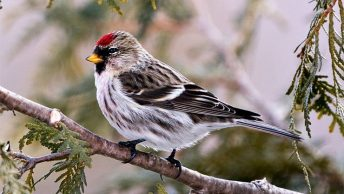 Finches of Michigan