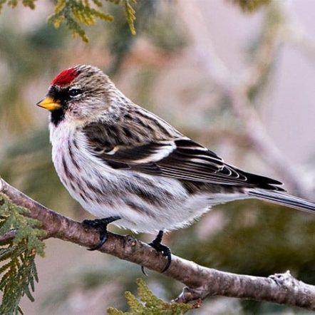 Finches of Michigan