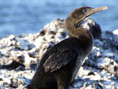 Flightless Cormorant closeup