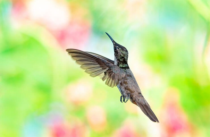 How fast are hummingbirds