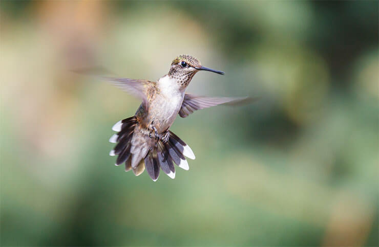 How to photograph hummingbirds with a flash