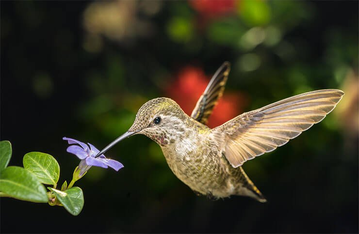 How to photograph hummingbirds without flash