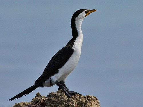 Pied Cormorant closeup