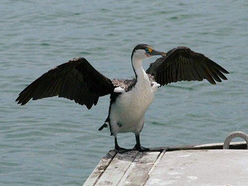 Pied Cormorant habitat