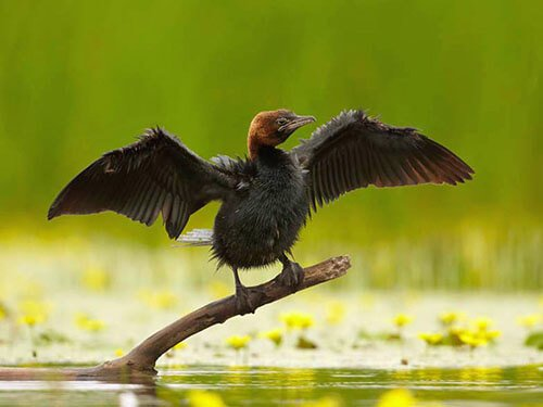 Pygmy Cormorant habitat