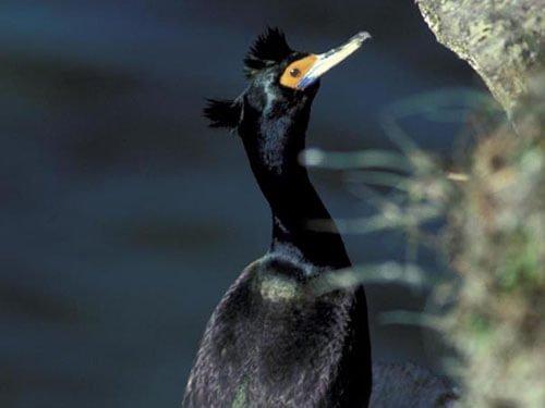 Red-Faced Cormorant closeup