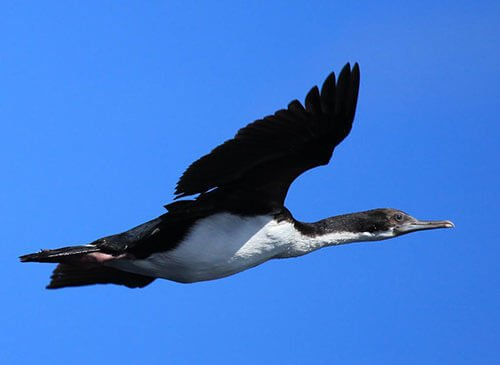 White-Bellied Shag in flight flying