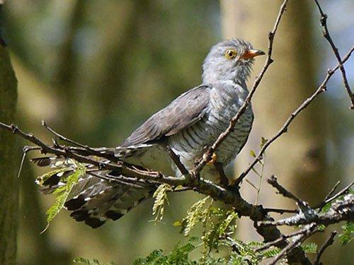African Cuckoo closeup