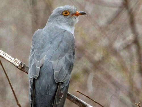 African Cuckoo habitat