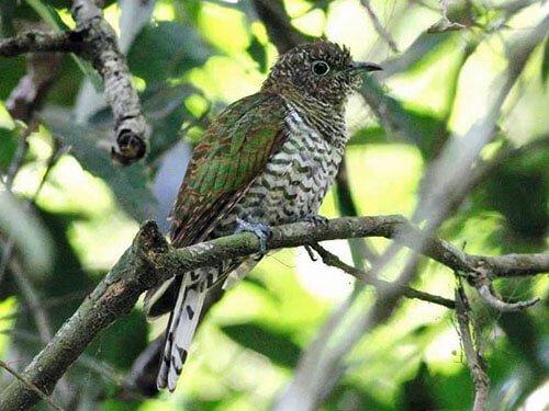 African Emerald Cuckoo closeup