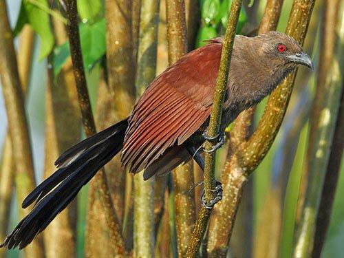 Andaman Coucal habitat