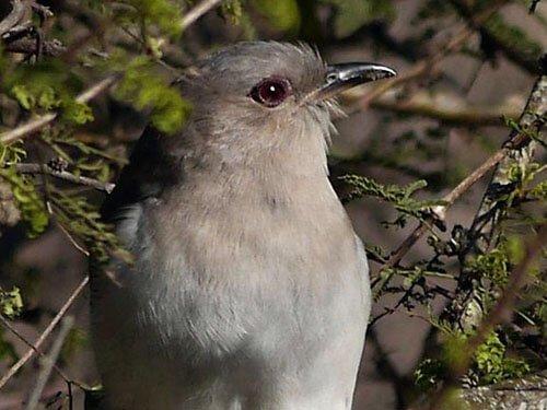 Ash-Colored Cuckoo closeup
