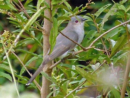 Ash-Colored Cuckoo habitat