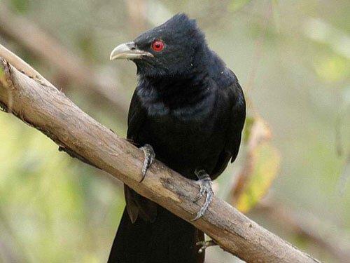 Australian Koel closeup