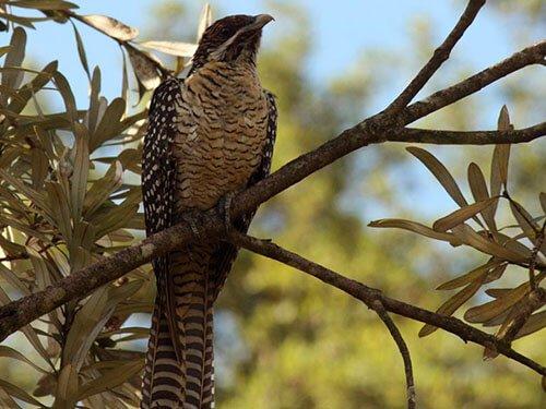 Australian Koel habitat