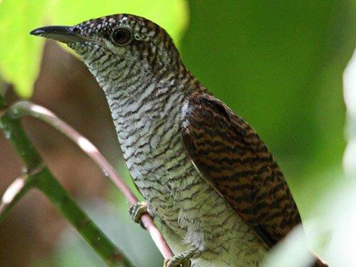 Banded Bay Cuckoo closeup