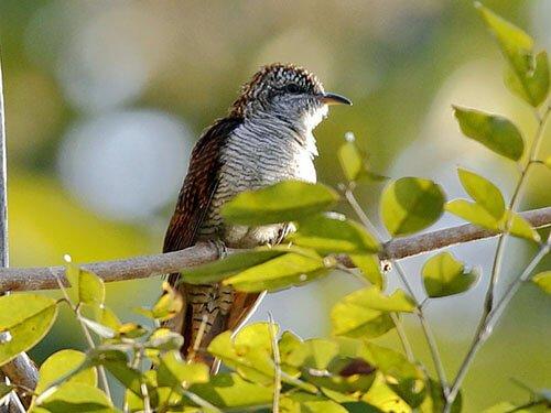 Banded Bay Cuckoo habitat