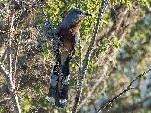 Bay-Breasted Cuckoo closeup