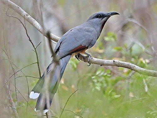 Bay-Breasted Cuckoo