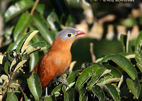 Black-Bellied Cuckoo closeup