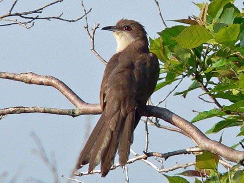Black-Billed Cuckoo aspects