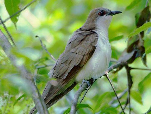 Black-Billed Cuckoo habitat
