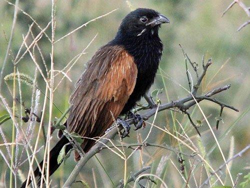 Black Coucal