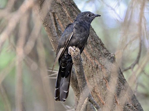Black Cuckoo aspects