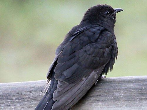 Black Cuckoo closeup