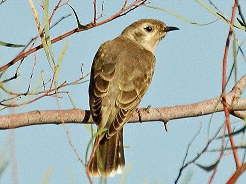 Black-Eared Cuckoo closeup