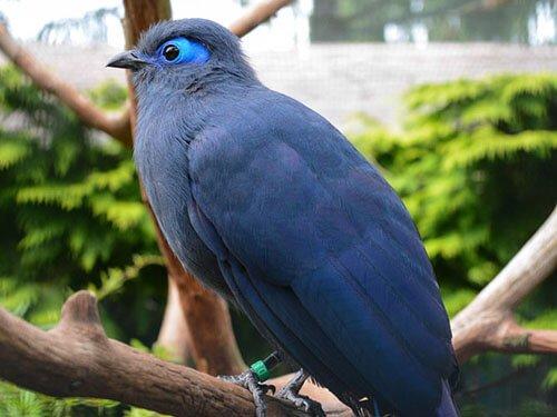 Blue Coua closeup