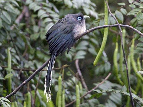 Blue-Faced Malkoha habitat