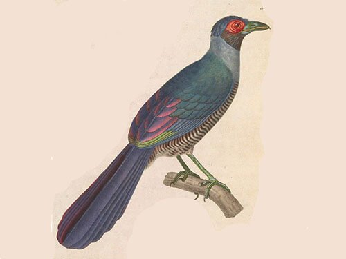Borneo Ground Cuckoo closeup