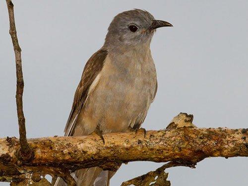 Brush Cuckoo closeup