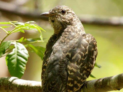 Brush Cuckoo description