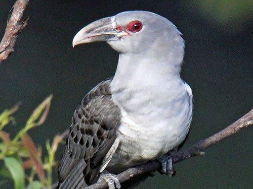 Channel-Billed Cuckoo closeup
