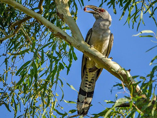 Channel-Billed Cuckoo habitat