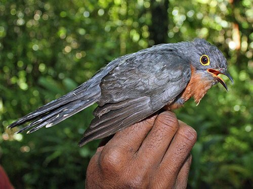 Chestnut-Breasted Cuckoo aspects