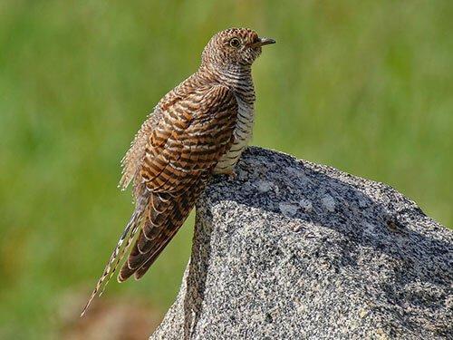 Common Cuckoo habitat