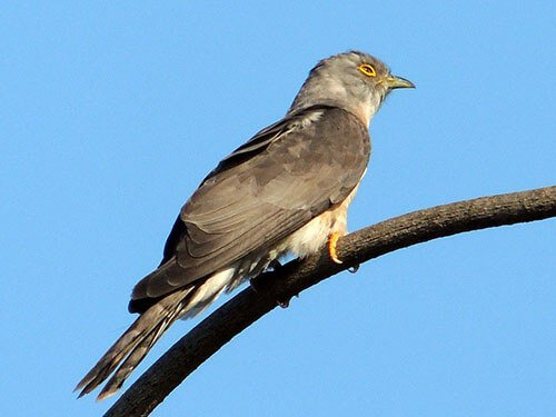 Common Hawk Cuckoo closeup