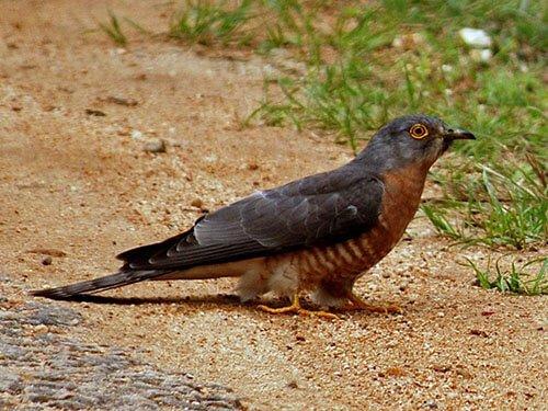 Common Hawk Cuckoo habitat